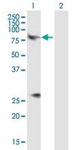 H00001131-B01P - Muscarinic acetylcholine receptor M3