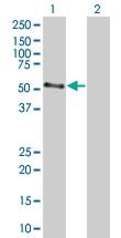 H00001137-B01 - Neuronal acetylcholine receptor subunit alpha-4