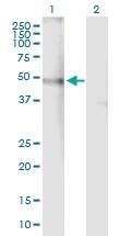 H00001137-B01P - Neuronal acetylcholine receptor subunit alpha-4