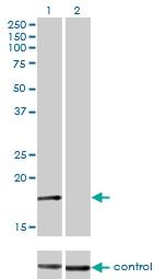 H00001175-M01 - AP2 complex subunit sigma-1