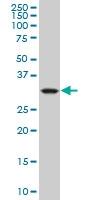 H00001428-M09 - Mu-crystallin homolog