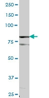 H00001606-B01P - DAG kinase alpha