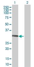 H00002054-B01 - Syntaxin 2 / STX2