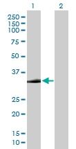 H00002054-B01P - Syntaxin 2 / STX2