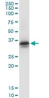 H00002054-D01 - Syntaxin 2 / STX2