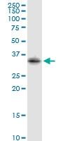H00002054-D01P - Syntaxin 2 / STX2