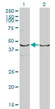 H00002057-M01 - Erythropoietin receptor