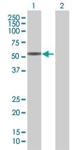 H00002104-B01 - Estrogen-related receptor gamma