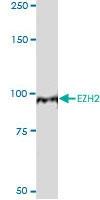 H00002146-M01 - EZH2 / KMT6