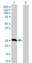 H00002243-D01P - Fibrinogen alpha chain