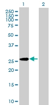 H00002262-B01P - Glypican-5 / GPC5
