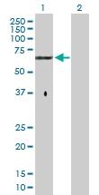 H00002262-D01P - Glypican-5 / GPC5