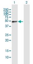 H00002331-B01P - Fibromodulin