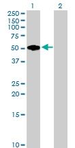H00002331-B02P - Fibromodulin