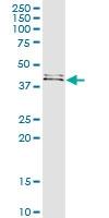 H00002523-D01 - Fucosyltransferase 1