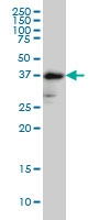 H00002524-M02 - Fucosyltransferase 2