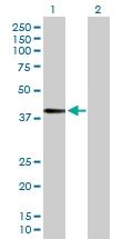 H00002525-D01P - Fucosyltransferase 3