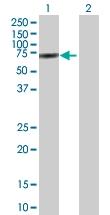 H00002530-B01P - Fucosyltransferase 8