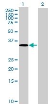 H00002532-B01 - CD234 / DARC