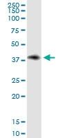 H00002532-D01 - CD234 / DARC