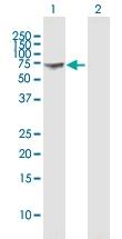 H00002633-B01P - GTP-binding protein 1 / GBP1