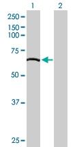 H00002634-B01P - GTP-binding protein 2 / GBP2