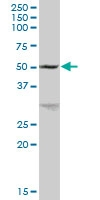 H00002710-B01P - Glycerol kinase