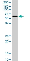 H00002712-B01 - Glycerol kinase 2
