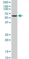 H00002712-B01P - Glycerol kinase 2