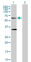 H00002741-D01P - Glycine receptor alpha-1