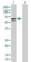 H00002747-B01P - Glutamate dehydrogenase 2