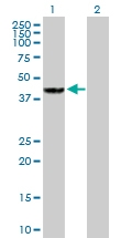 H00002768-B02P - G protein subunit alpha 12 / GNA12