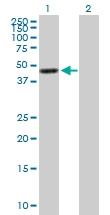 H00002769-B01P - G protein alpha 15