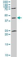 H00002774-A01 - G alpha protein olf