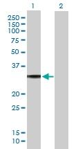 H00002775-B01P - G protein alpha 0