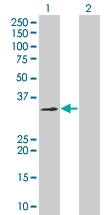 H00002781-B01 - G protein z alpha