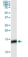 H00002785-M01 - G protein gamma 3
