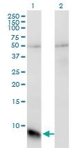 H00002792-M01 - G protein gamma T1