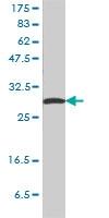 H00002810-M01 - 14-3-3 protein sigma / SFN