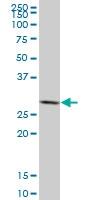 H00002810-M02 - 14-3-3 protein sigma / SFN