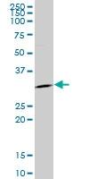 H00002810-M05 - 14-3-3 protein sigma / SFN