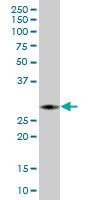 H00003002-B01 - Granzyme B (GZMB)
