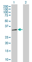 H00003002-B02 - Granzyme B (GZMB)