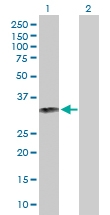 H00003002-D01P - Granzyme B (GZMB)