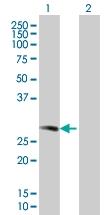 H00003005-B01 - Histone H1.0