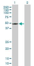 H00003062-B01 - Orexin receptor type 2