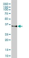 H00003163-M01 - Heme oxygenase 2 (HMOX2)
