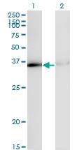 H00003178-M02 - hnRNP core protein A1 / HNRNPA1