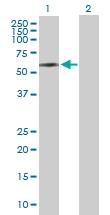 H00003382-D01P - Islet cell autoantigen 1 / ICA1