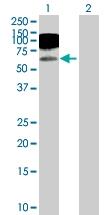 H00003383-D01P - CD54 / ICAM1